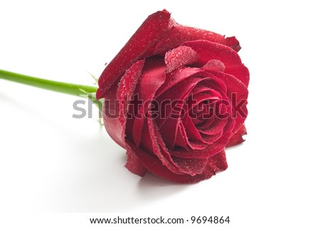 Red rose with drops isolated on a white - stock photo