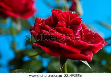Red rose with drops of dew on a blue background - stock photo