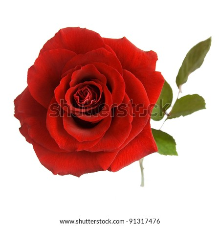 Red rose with leaves isolated on white - stock photo