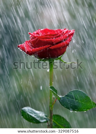 Red rose with waterdrops into the rain - stock photo