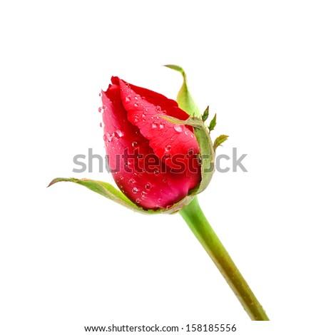 Red Rosebud Rose isolated on white background - stock photo