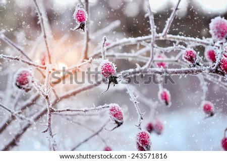 Red rosehip berries with hoar frost - stock photo