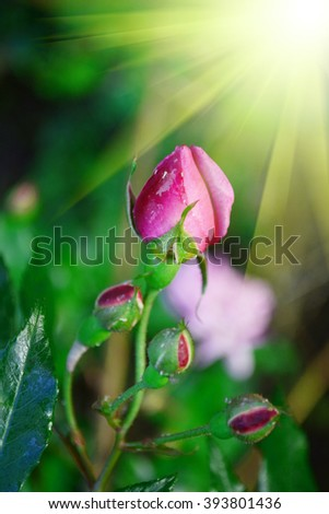 Red roses are not blooming. The background is natural. - stock photo