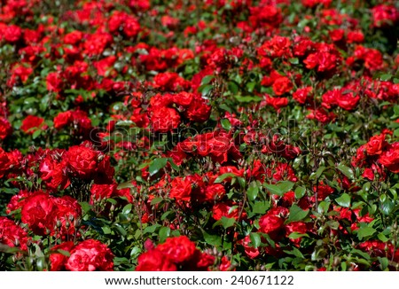 Red roses bunches grow in park, many wild fragrant flowerheads in summertime in Poland.