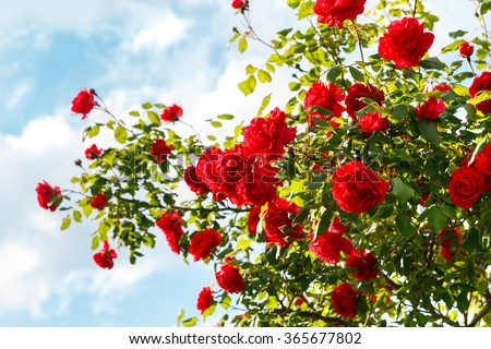 Red roses bush in the garden - stock photo