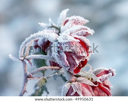 Red roses covered with morning frost. Photo taken in October. - stock photo