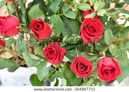 Red roses in the garden., Valentines Day background, wedding day