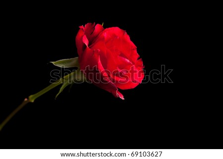 Red roses on black isolated background - stock photo
