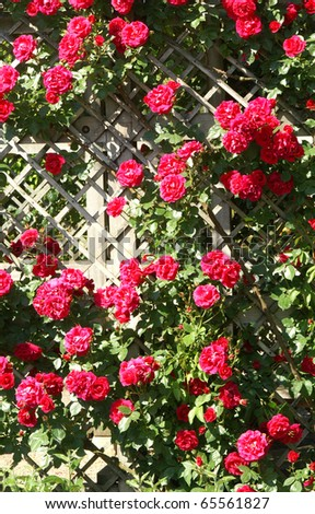 red roses on fence - stock photo