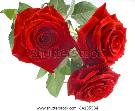 Red roses on the white background - stock photo