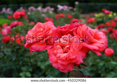 red roses outdoor