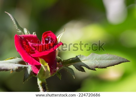 Red roses with raindrops in the garden.  - stock photo