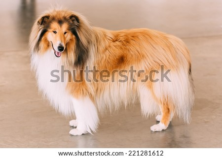 Red Rough Collie Dog Full Length Portrait On Brown Floor - stock photo
