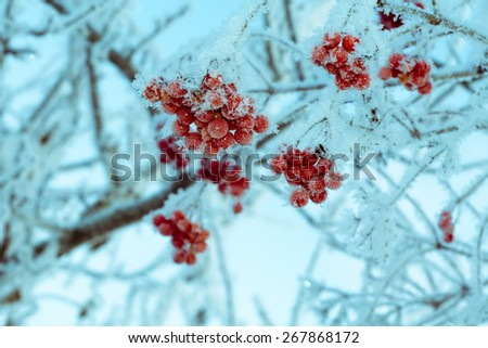 Red rowan berries with ice crystals, winter morning hoarfrost, vintage photo effect. - stock photo