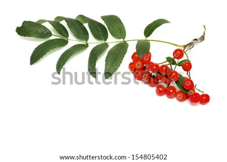 Red rowan on a white background