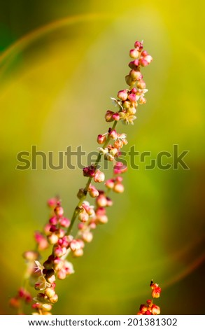 Red Rumex Acetosella glowing under the warm spring sunset - stock photo