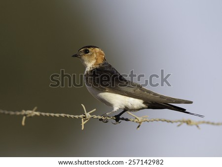 Red-rumped Swallow on barbed wire