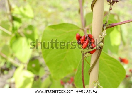 Red runner bean flower buds against green leaves of a vine climbing a bamboo cane - stock photo