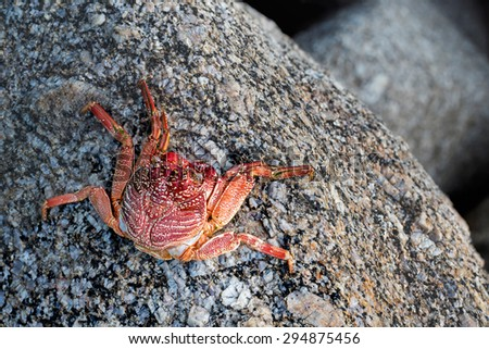 Red Sally Lightfoot crabs on a rock