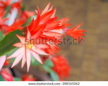 Red Schlumbergera flower aka Christmas Cactus, Thanksgiving Cactus, Crab Cactus and Holiday Cactus is a small genus of cacti from Brazil flower - stock photo