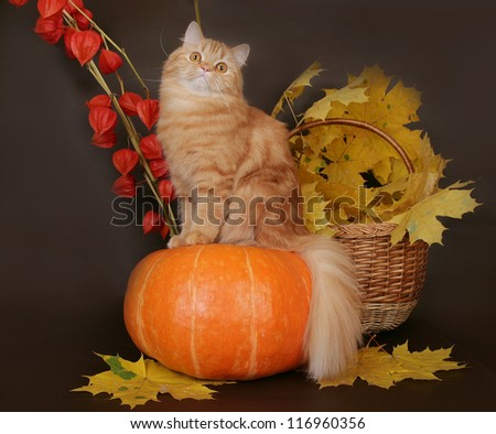 Red Scottish cat on tykves autumn leaves - stock photo