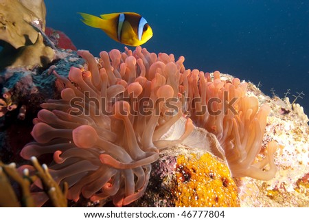 Red Sea anemonefish (Amphiprion bicinctus) over its vibrant red anemone. Red sea, Egypt.