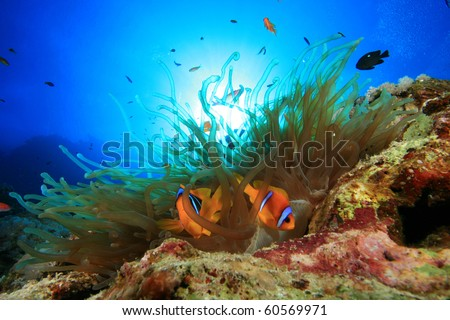 Red Sea Anemonefish in Bubble Anemone with sun behind - stock photo
