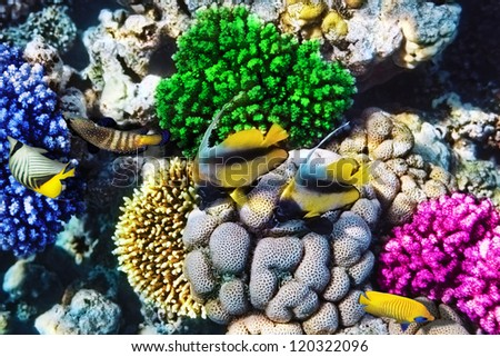 Red Sea bannerfish  in the Red Sea. Egypt, Africa - stock photo