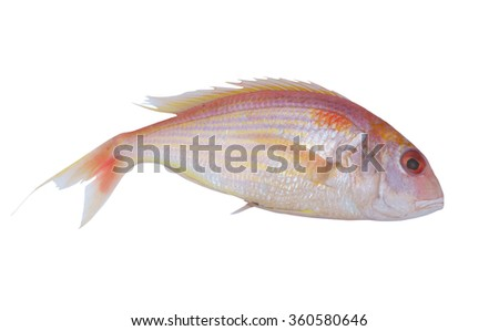 Red sea bream or porgy fish isolated on white - stock photo