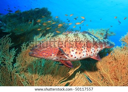Red Sea Coral Grouper beside Giant Sea Fan (Gorgonian) coral