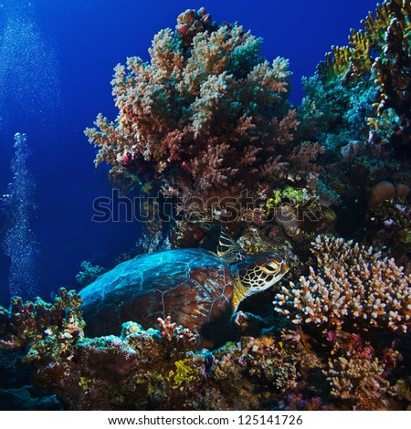 Red sea diving big green sea turtle sitting on colorful coral reef