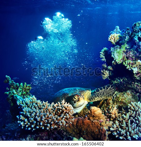Red sea diving big sea turtle sitting on colorful coral reef underwater postcard - stock photo
