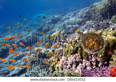 Red sea diving big sea turtle sitting on coral reef - stock photo