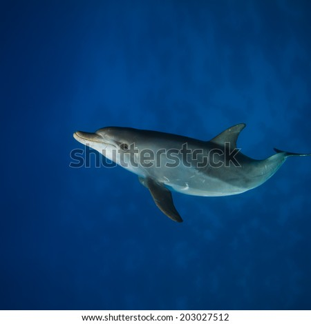 Red sea diving. Wild dolphin underwater swimming under surface with reflection