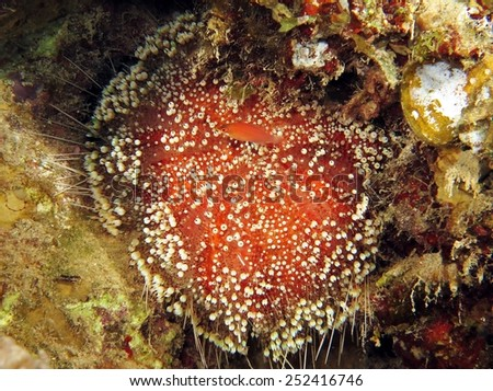 Red Sea fire urchin inside a reef crevice - stock photo