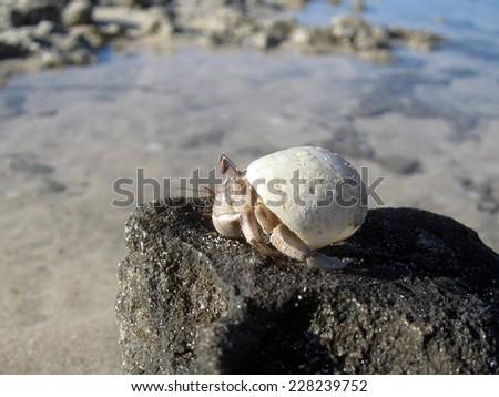 Red Sea land hermit crab (Coenobita scaevola) perched on a rock - stock photo