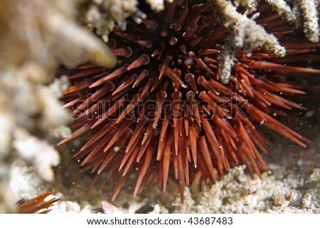 Red sea sea-urchin under the stone - stock photo