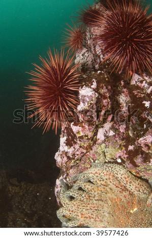 Red sea urchins sharing a rock near the San Juan Islands in Washington State. - stock photo