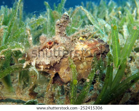 Red Sea Walkman or filamented devilfish in a seagrass meadow - stock photo