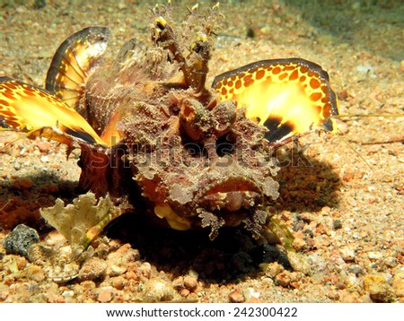 Red Sea Walkman scorpionfish glaring over the sand  - stock photo