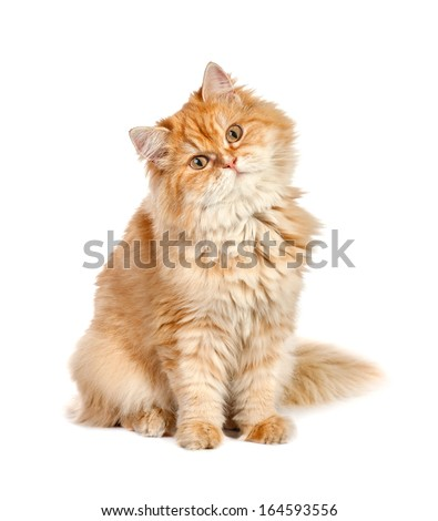 red shaggy cat sits tilting his head to the left in isolation