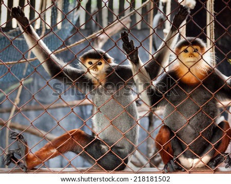 Red-shanked Douc in the zoo. - stock photo