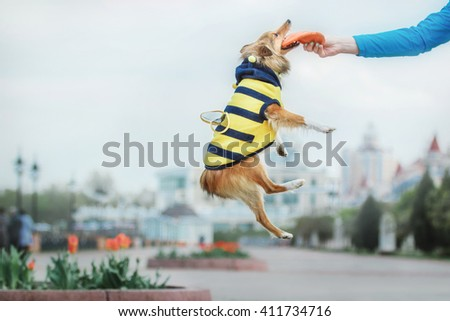 Red Shetland Sheepdog dressing like a bee playing with flying disc. Sheltie dog jumping - stock photo
