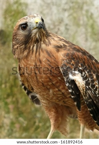 Red Shouldered Hawk - stock photo