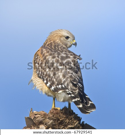 Red-shouldered hawk looking over shoulder. Latin name - Buteo lineatus.