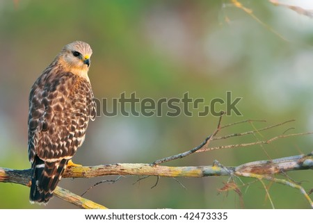 red shouldered hawk on branch in florida everglades at sunrise