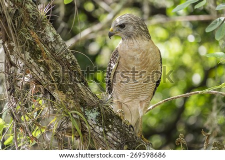 Red-shouldered Hawk Sitting on a Tree Branch in the Forest - stock photo