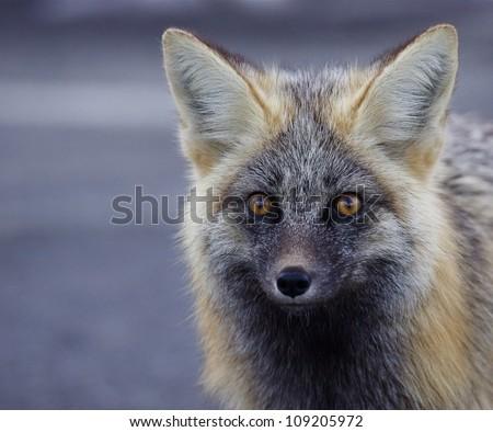 Red / Silver Fox (rare Cascade color phase), detailed portrait / head shot, Mount Rainier National Park, Washington; Pacific Northwest wildlife / animal / nature / outdoors / recreation - stock photo