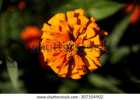 Red single Zinnia flowering in late summer, blooming flowers of shrub, plant growing in ornamental garden in Poland, horizontal orientation, nobody. Polish names Cynia or Jakobinka - stock photo