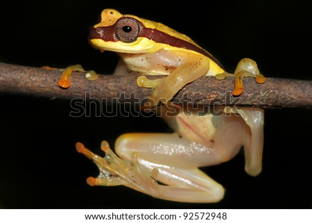 Red-skirted Treefrog (Dendropsophus rhodopeplus) isolated on black in the Peruvian Amazon Lots of space for text - stock photo